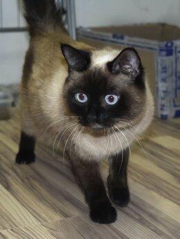 Кошки - Молодая сиамская кошка в дар, 0