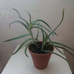 Комнатные растения - Алоэ древовидное лечебное (Столетник) без горшка, 0