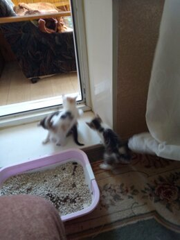 Кошки - Отдам котят или котенка в хорошие руки., 0