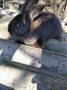 Кролики - Серый великан кролики , 0