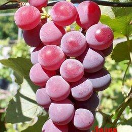 Рассада, саженцы, кустарники, деревья - Саженцы винограда Лидия, 0