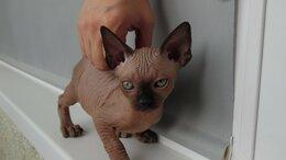 Кошки - Котята канадского сфинкса, 0