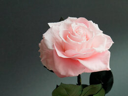 Цветы, букеты, композиции - Настоящая вечная роза для вашей любимой (крупная), 0