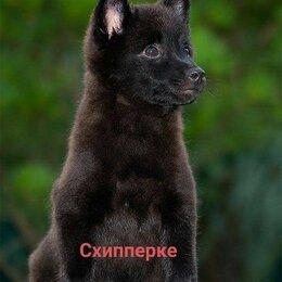 Собаки - Миниатюрная овчарка шипперке, 0