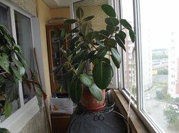 Комнатные растения - Продам фикус с подставкой, для офиса или…, 0