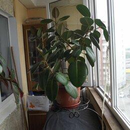 Комнатные растения - Продам фикус с подставкой, для офиса или квартиры. , 0