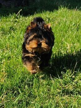 Собаки - Щенок йоркширский терьер, 0