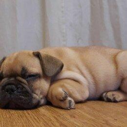 Собаки - Французский бульдог , 0