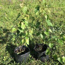 Рассада, саженцы, кустарники, деревья - Саженцы карельской березы, двулетние зкс, 0