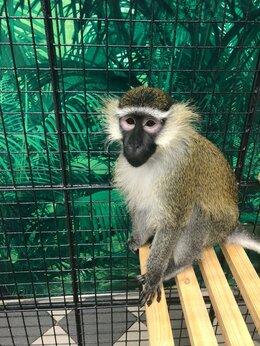 Другие - обезьянка зеленая мартышка, 0