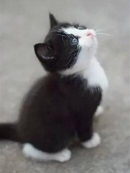 Кошки - Котёнок девочка от домашней кошки, 0