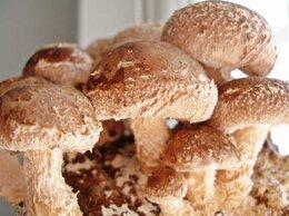 Семена - Мицелий зерновой гриба шиитаке, 0