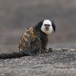 Другие - Пара обезьянок - игрунок Жоффруа, 0