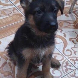 Собаки - Щенки немецкой овчарки, 0