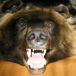 Рога, шкуры, чучела животных - Чучело бурого медведя в виде развернутой шкуры 2м.*2,3м. НОВАЯ., 0