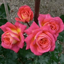 """Комнатные растения - Роза флорибунда """"Midsummer"""" (Мидсаммер)…, 0"""