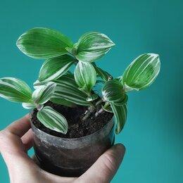 Комнатные растения - Традесканция , 0