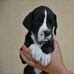 Собаки - Щенки немецкого дога, 0