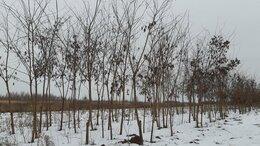 Рассада, саженцы, кустарники, деревья - Акация белая 300-400 см, 0