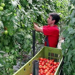 Рабочие - Разнорабочий - сборщик урожая в теплице помидоры вахта в Москве от 15 смен, 0