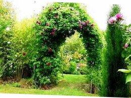 Рассада, саженцы, кустарники, деревья - Шоколадная Лиана акибея для беседки и забора, 0