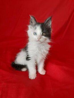 Кошки - Продаются котята Мейн куна  пишите и званите !, 0