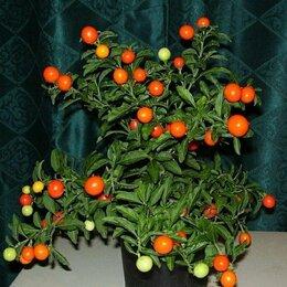 Комнатные растения - Соланум псевдокапсикум, 0