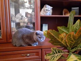 Услуги для животных - Британский кот на вязку, 0