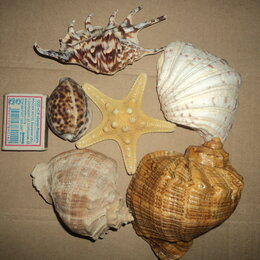 Декорации для аквариумов и террариумов - Ракушки , звезда для аквариума, 0