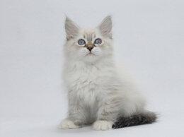 Кошки - Невский маскарадный котенок - кот, 0