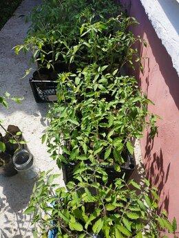 Рассада, саженцы, кустарники, деревья - Рассада помидоров, разные сорта. С зарядом…, 0