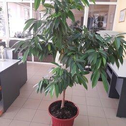Комнатные растения - Фикус Amstel  King ( амстел королевский)   высота ок. 1,7 м, 0