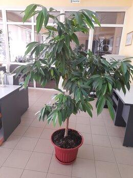 Комнатные растения - Фикус Amstel  King ( амстел королевский)  …, 0