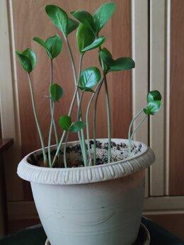 Комнатные растения - Замиокулькас, 0