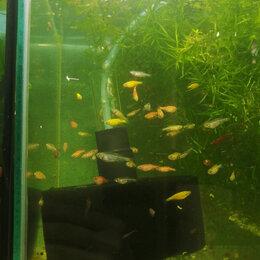 Аквариумные рыбки - Данио , 0