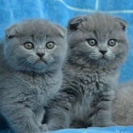 Кошки - голубые вислоухие котята, 0