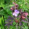 Герань садовая. по цене 100150₽ - Рассада, саженцы, кустарники, деревья, фото 1
