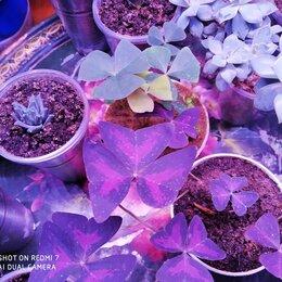 Комнатные растения - оксалис кислица клевер, 0