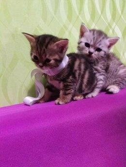 Кошки - Британские котята , 0