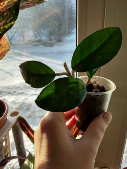 Комнатные растения - Хойя карноза , 0