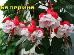 Комнатные растения - Фуксия Балерина. Укорененные черенки, 0