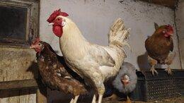 Сельскохозяйственные животные - Петухи молодые пёстрые племенные, 0