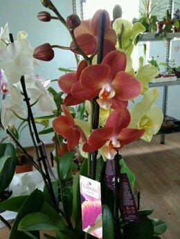 Комнатные растения - Фаленопсисы, 0