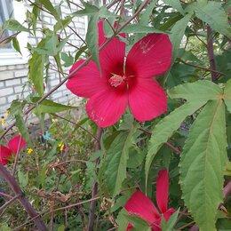 Рассада, саженцы, кустарники, деревья - Кустарники ицветы, 0
