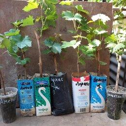 Рассада, саженцы, кустарники, деревья - продаются саженцы винограда с закрытой корневой системой, 0