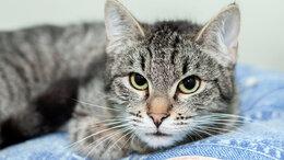 Кошки - Котёнок Суоми - игривая, добрая и спокойная…, 0