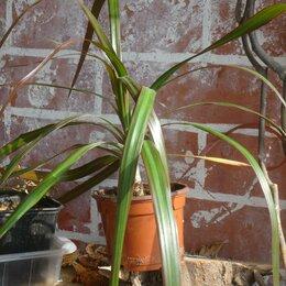 Комнатные растения - Драцена., 0