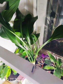 Комнатные растения - эухарис , 0