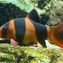 Аквариумные рыбки - Боция клоун, 0
