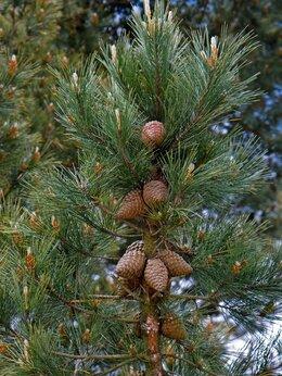 Рассада, саженцы, кустарники, деревья - Кедр сибирский, 0